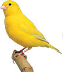 Canaries are no damn good according to Fingers.