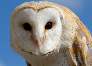 Female barn owl (file photo)