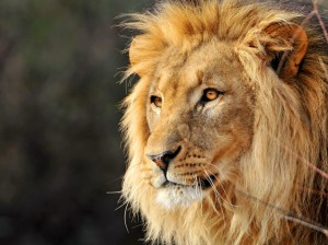 One of the lion pictures seized this morning.
